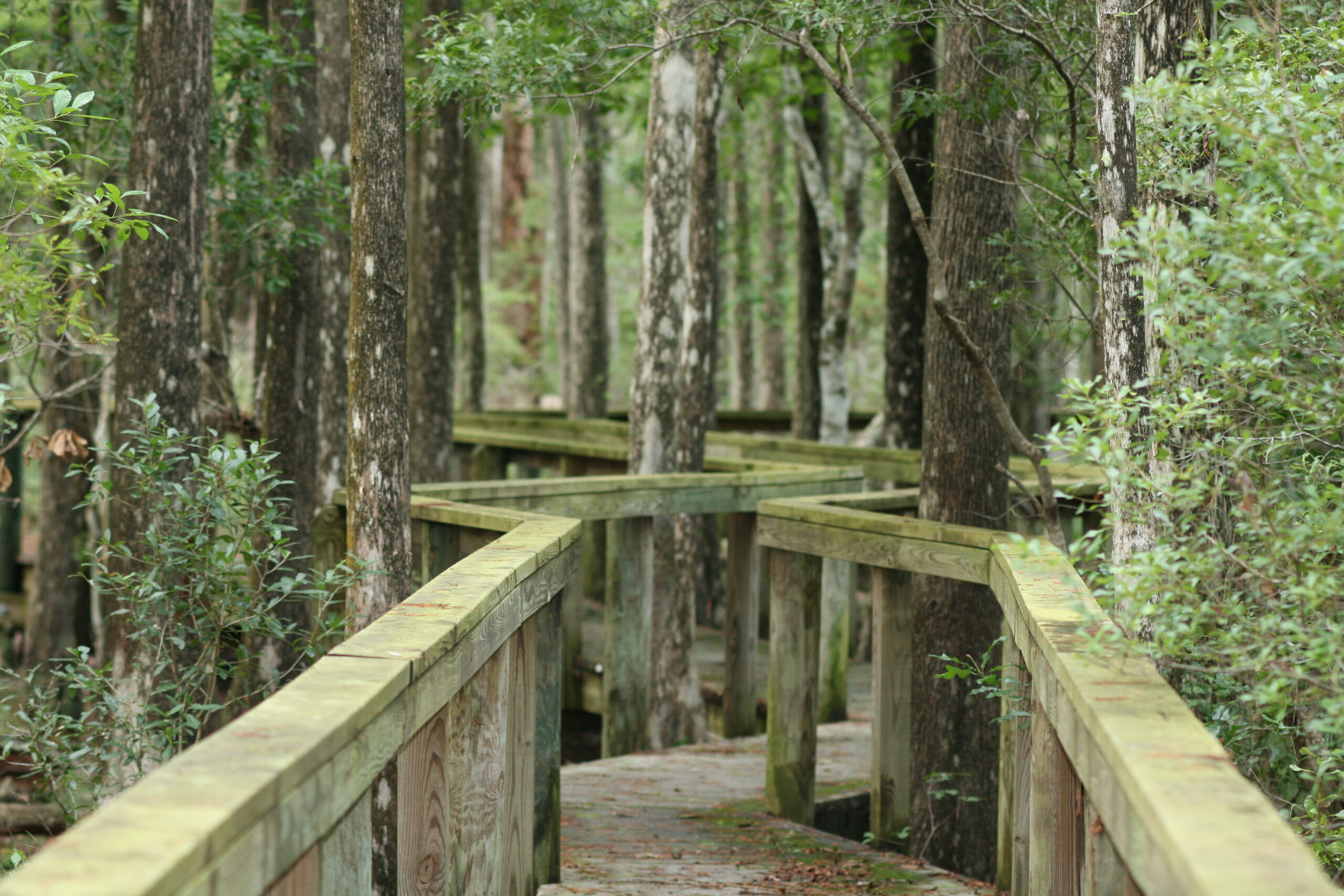 Point-of-view photograph of a hiker on a boardwalk zig zags through a floodplain swamp